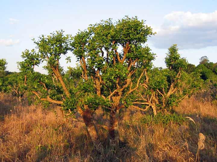 yohimbe là cây gì-2